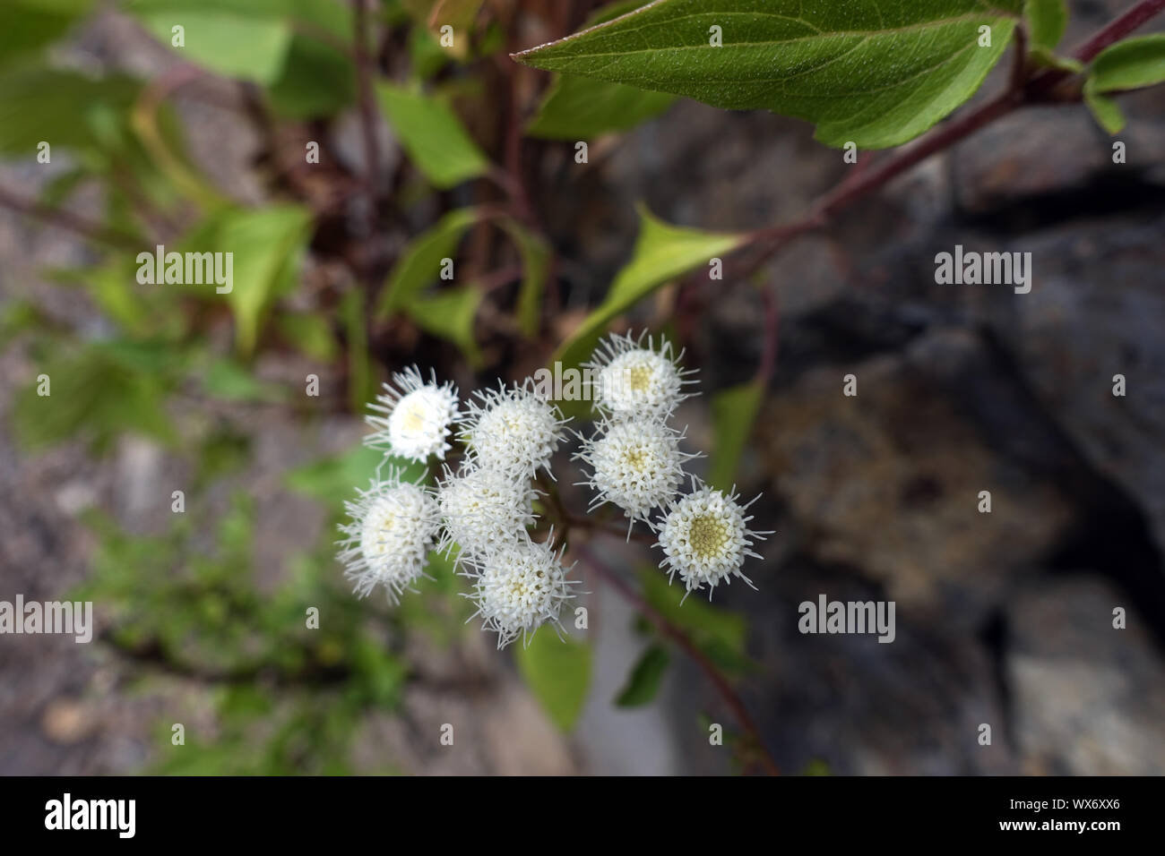 crofton weed or sticky snakeroot (Ageratina adenophora), Neophyte in the Canary Islands Stock Photo
