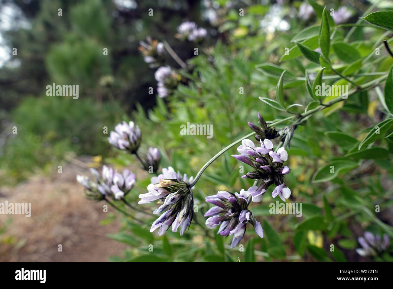Arabian pea or pitch trefoil Stock Photo