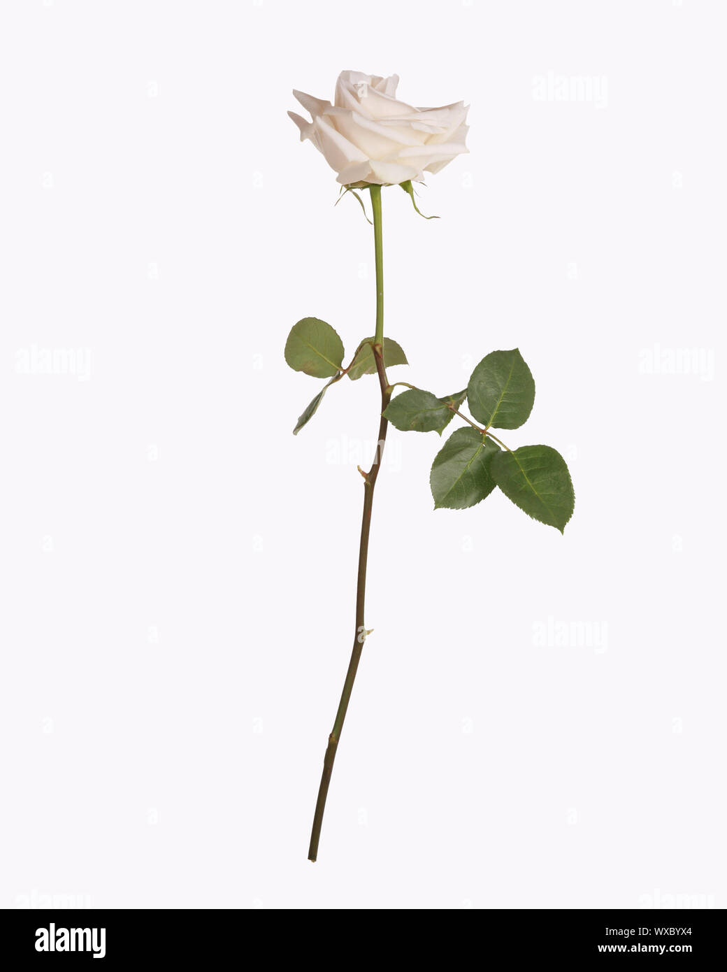 Single White Rose With Stem And Leaves Stock Photo Alamy