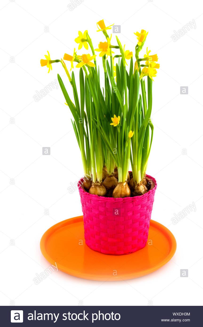 Yellow daffodills in spring Stock Photo