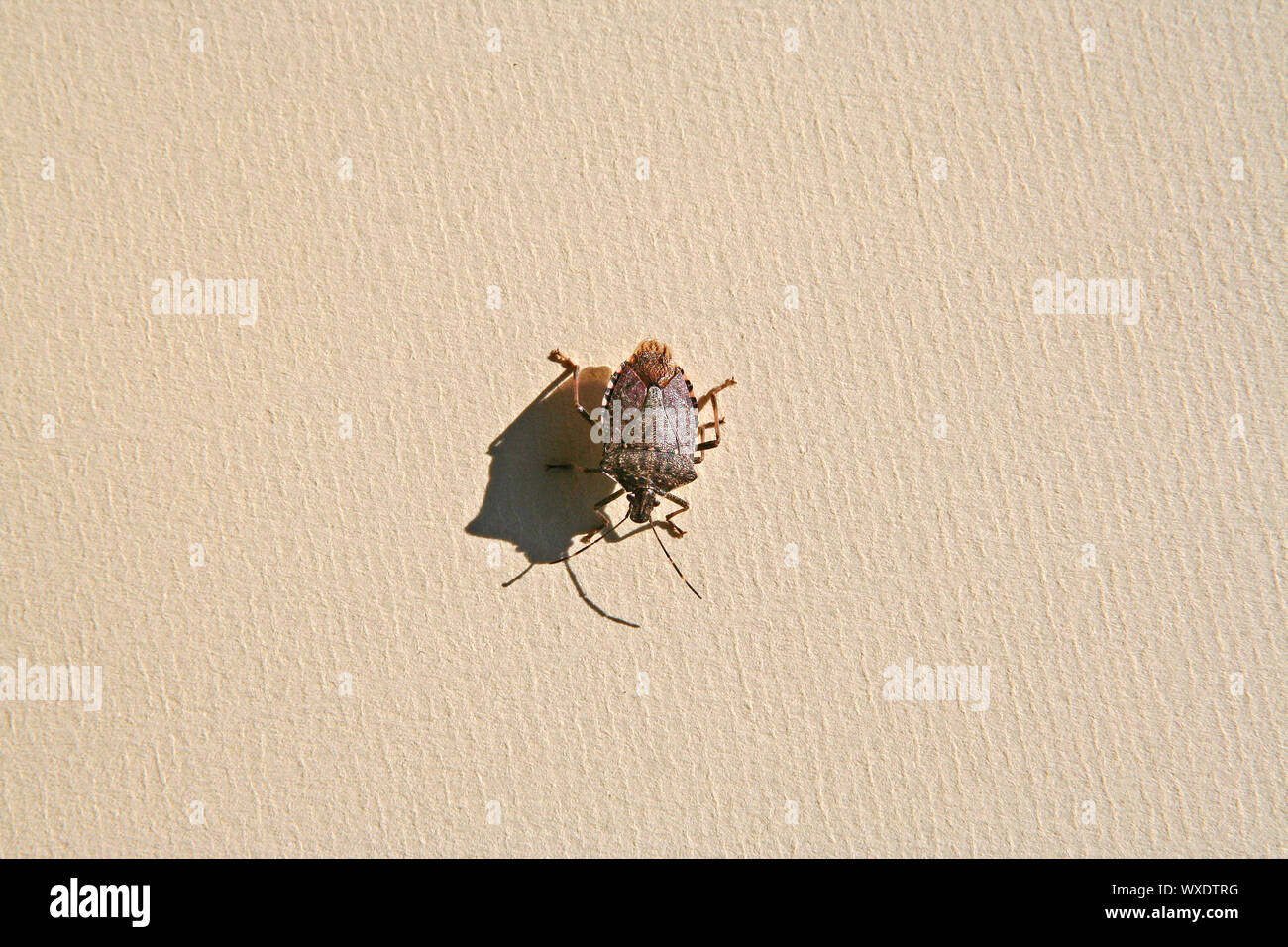 brown marmorated stink bug, Asian beetle or shield bug Latin halyomorpha halys the pentatomidae group of insects in Italy native to China and Asia Stock Photo