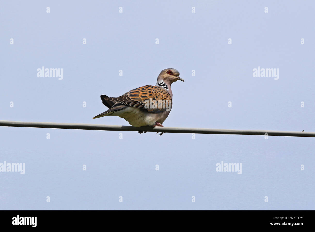 Turtle dove Latin name streptopelia turtur adult very close to not a collared dove or mourning dove vulnerable status due to hunting perched on a wire Stock Photo
