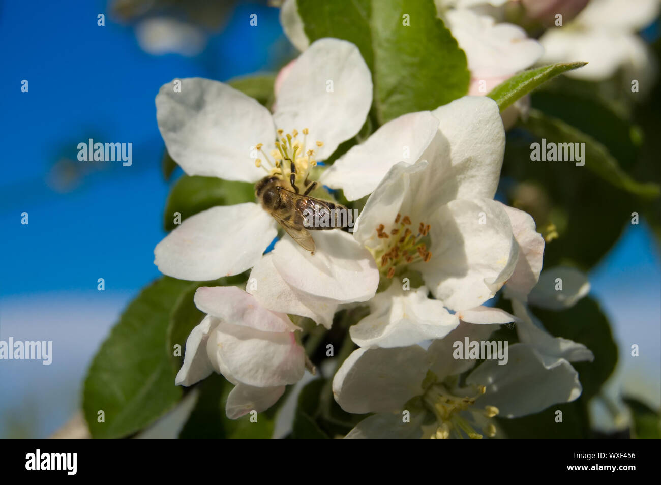 apple flower on blue sky background with bee Stock Photo