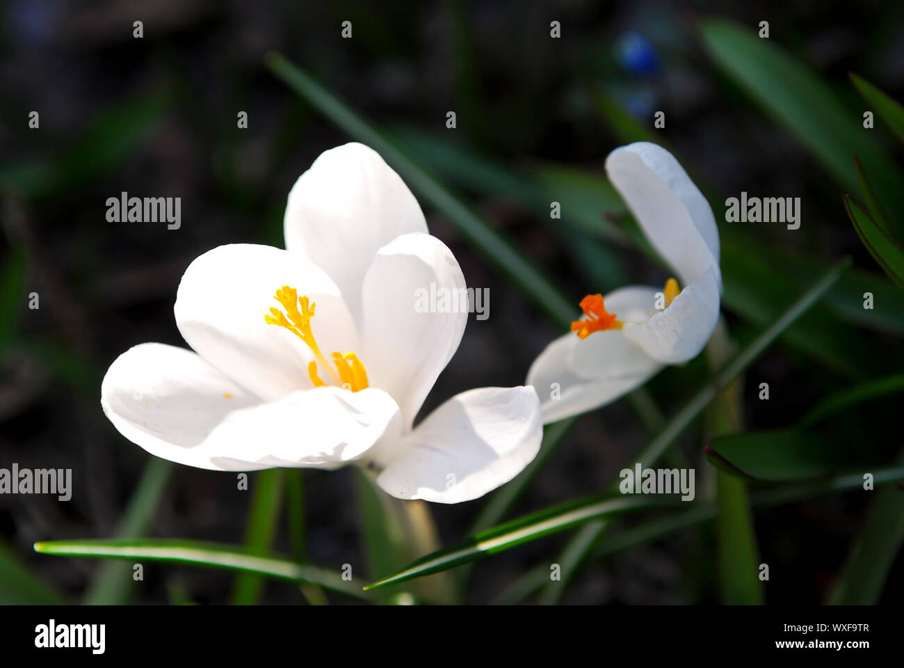 Closeup of white crocus flower with green background Stock Photo