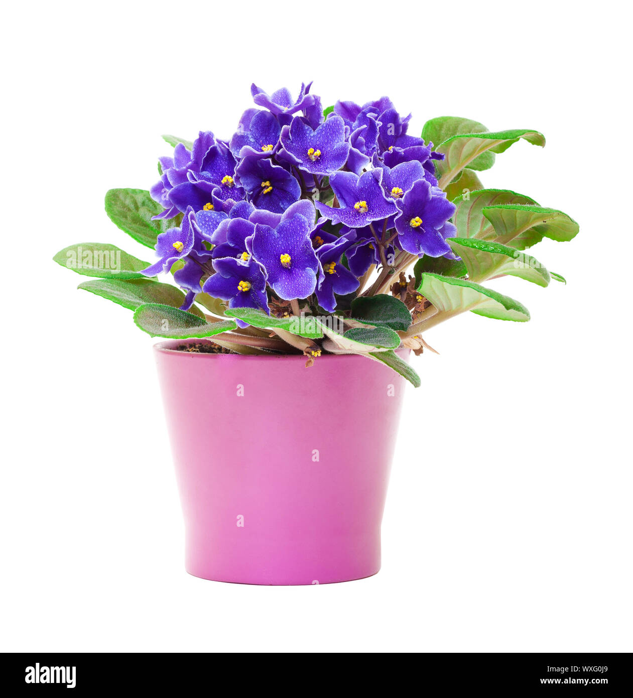 Beautiful Purple Violet Flowers in flowerpot, on white background Stock Photo