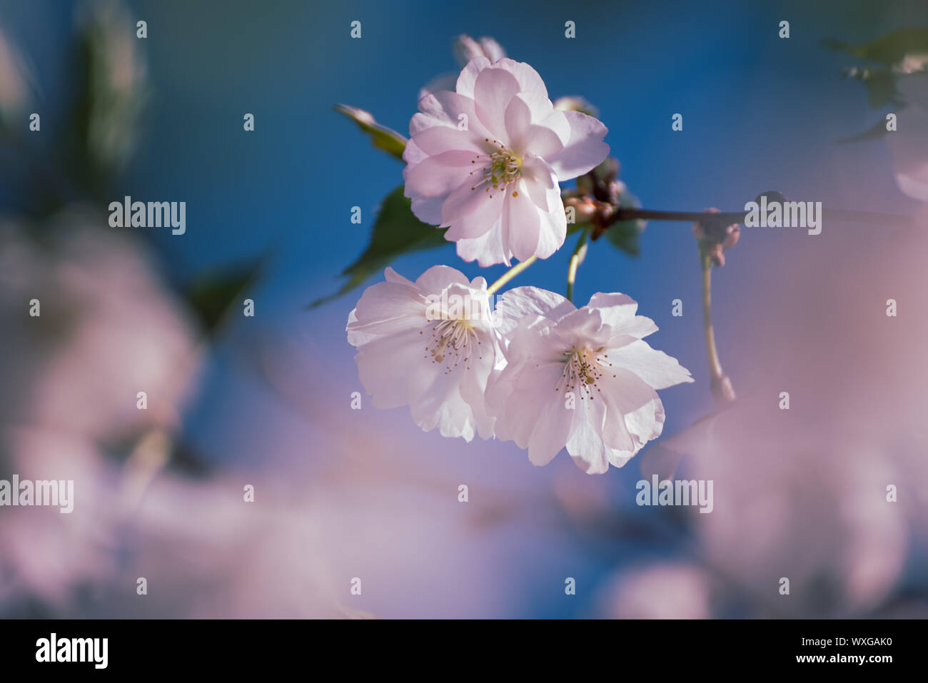 Blossoming of the apricot tree in spring time with white beautiful flowers. Macro image with copy space. Natural seasonal background. Stock Photo