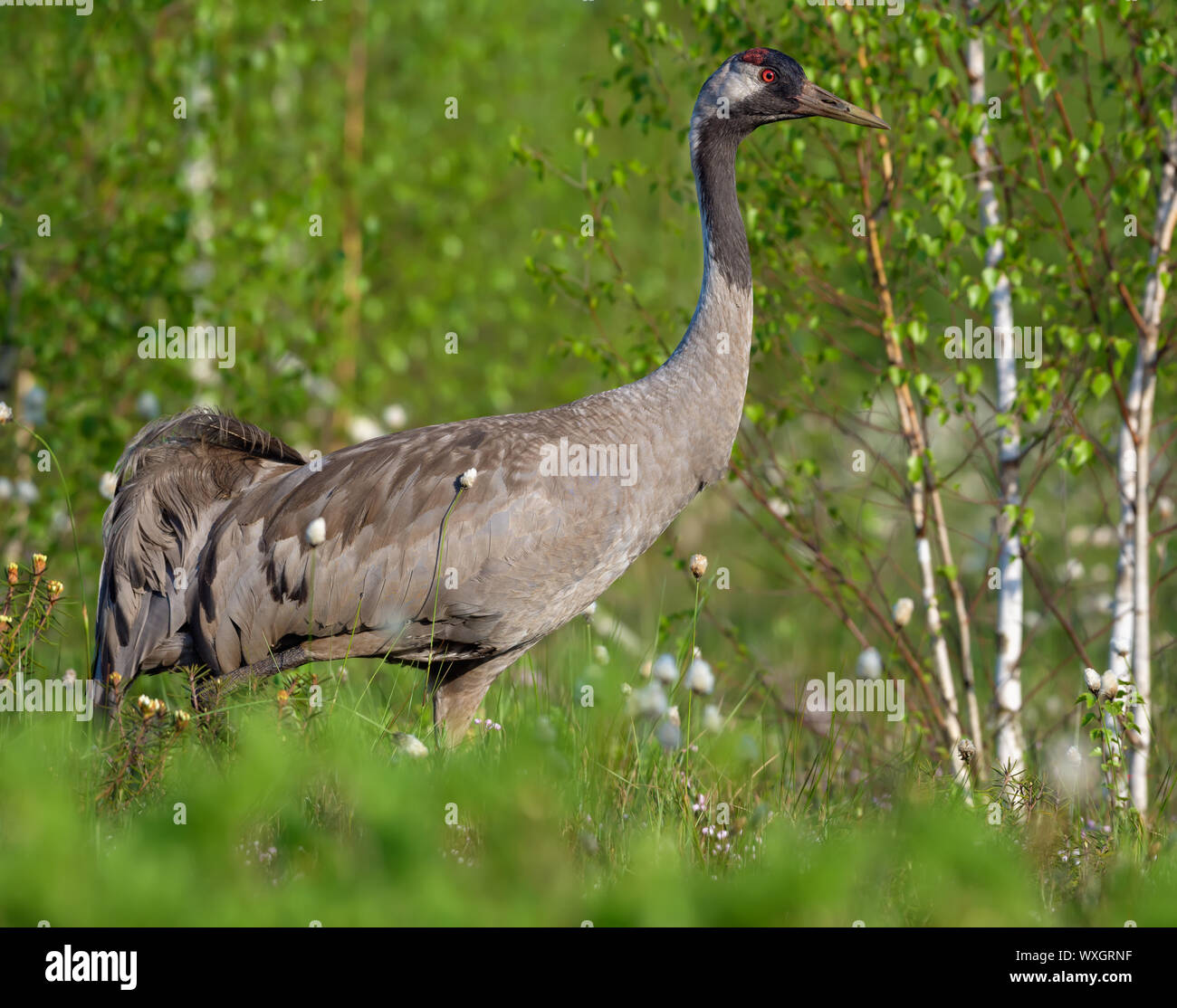 Close shot of Common Crane posing at green bog breeding habitat Stock Photo