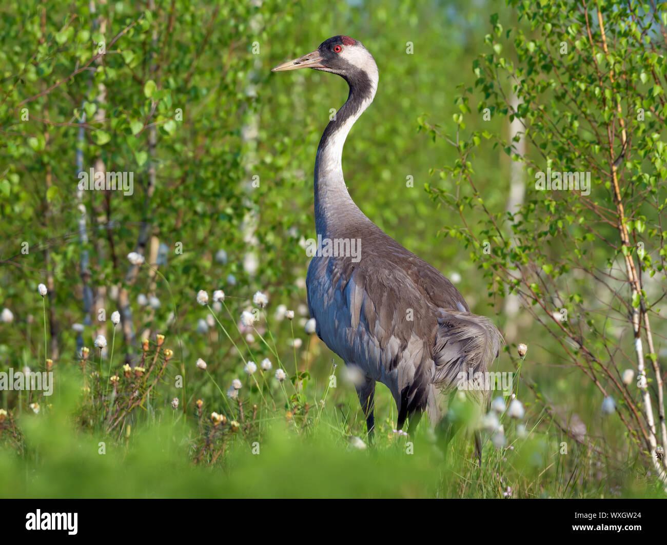 Common Crane stands for back view in green marsh breeding habitat Stock Photo