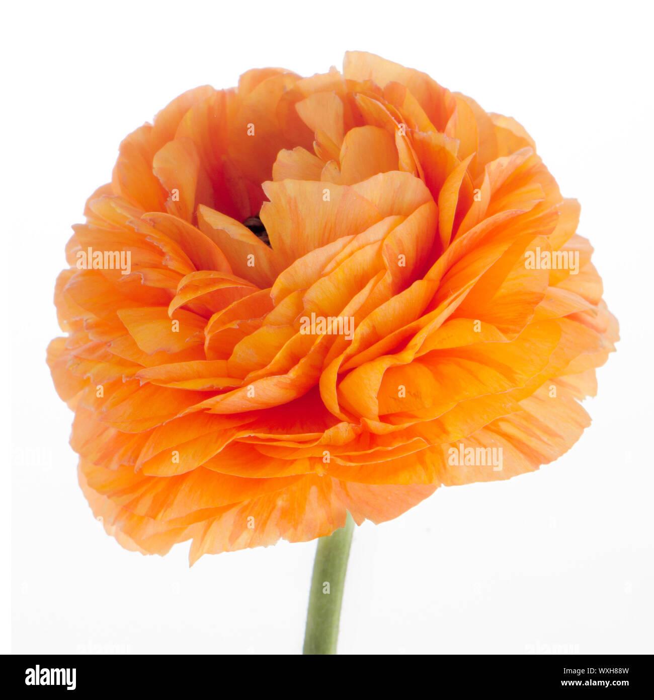 Beautiful orange eustoma isolated on white background. Stock Photo