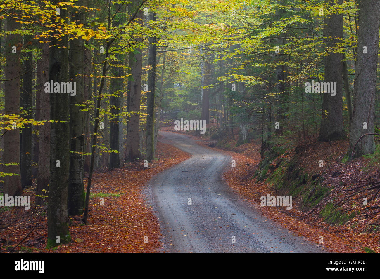 Common Beech (Fagus sylvatica), path through forest in autumn. National Park Bavarian Forest, Bavaria, Germany Stock Photo