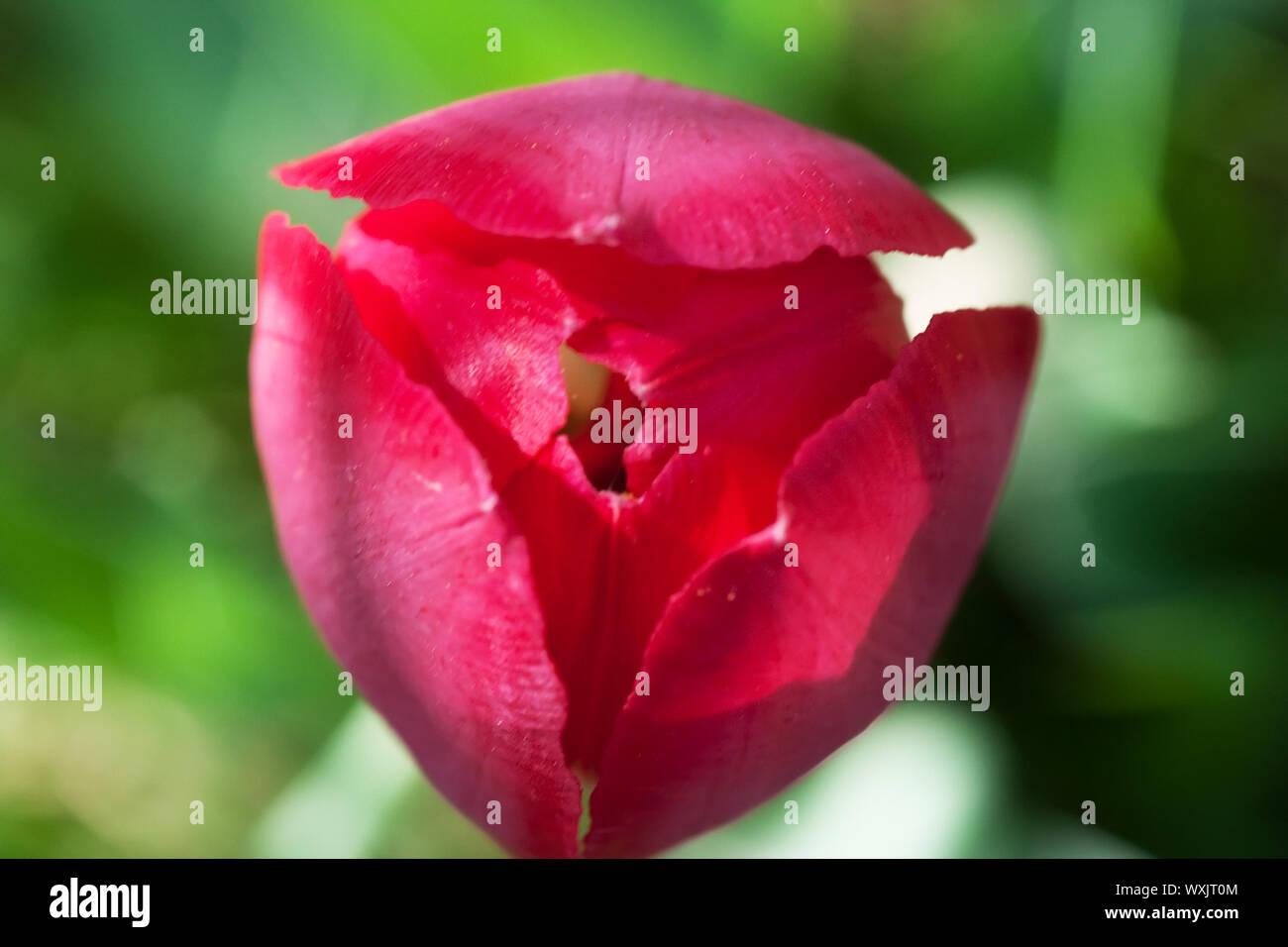 Colorful tulip closeup Stock Photo