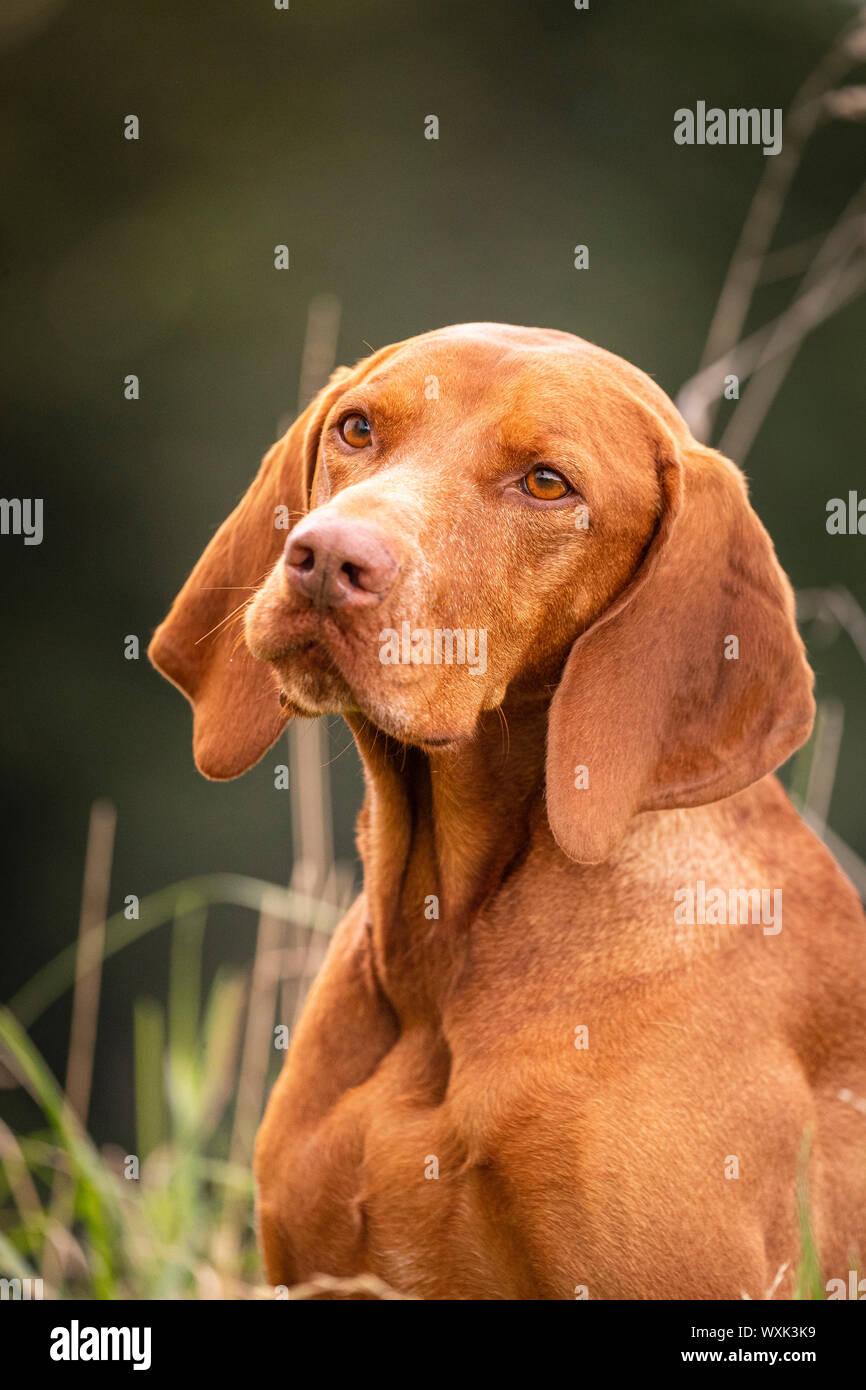 Magyar Vizsla. Portrait of adult dog. Germany Stock Photo