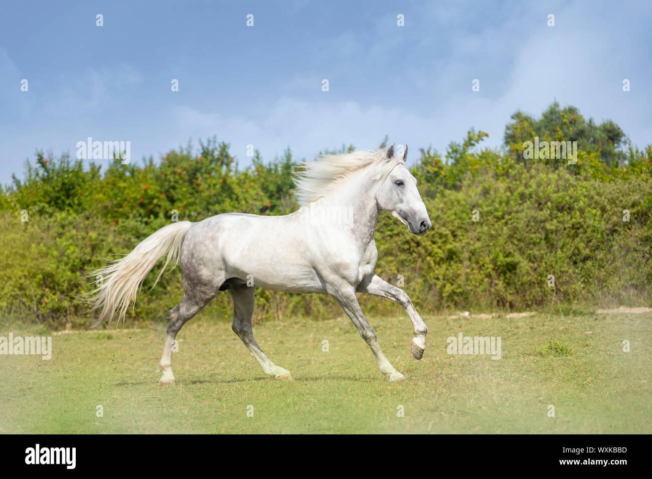 Rahvan Horse. Gray stallion galloping on a meadow. Turkey ., Türkei Stock Photo