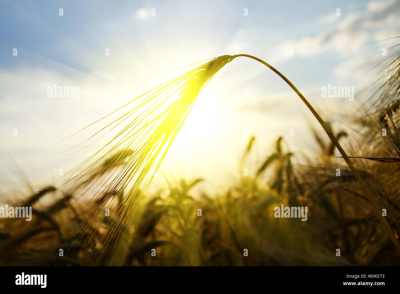 Sunset On Field At Summer Ears Of Wheat Sun Against Stock Photo