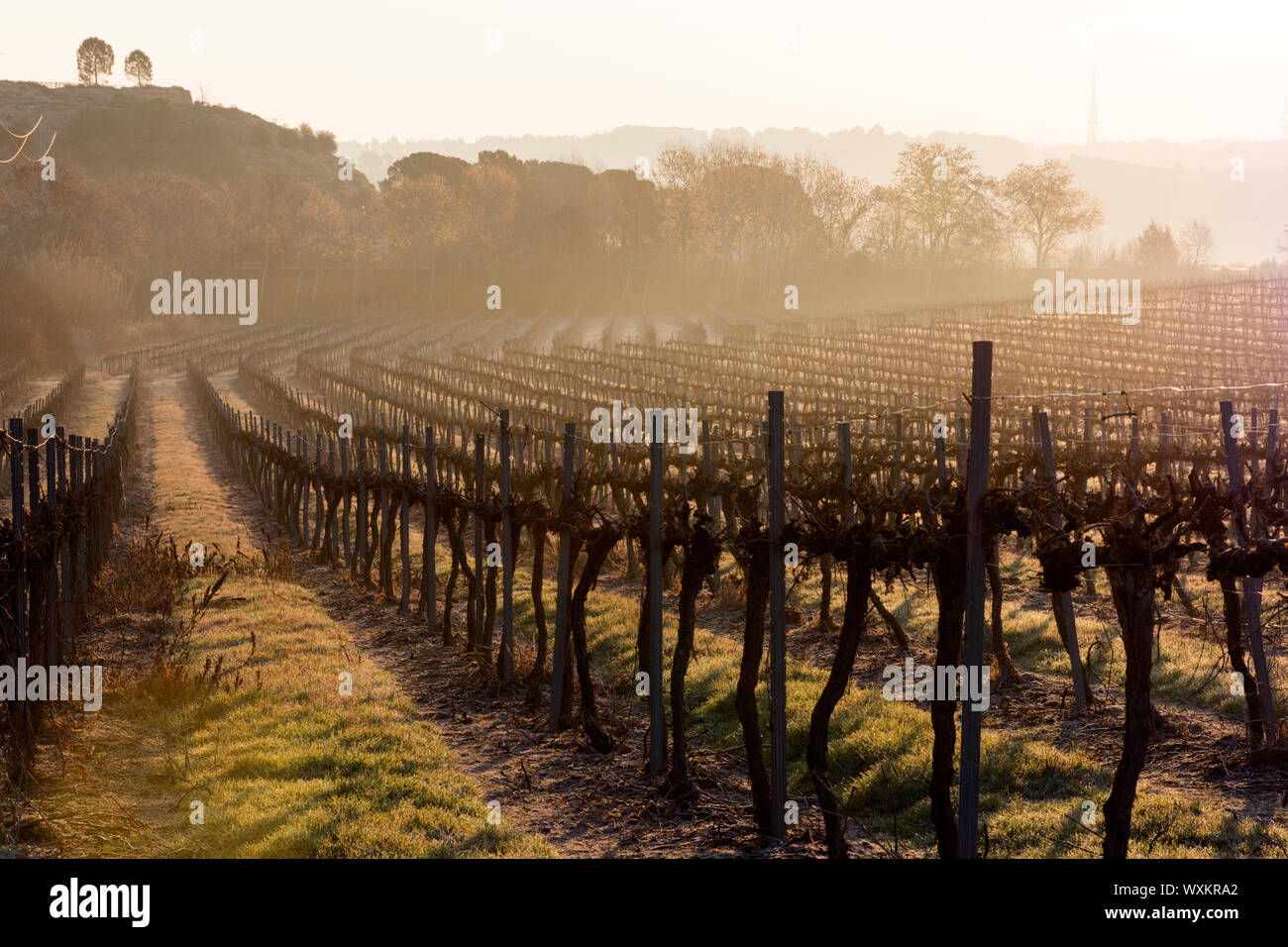 A vineyard with a forest in the background. Misty morning at the sunrise. Lights and shadows. Stock Photo