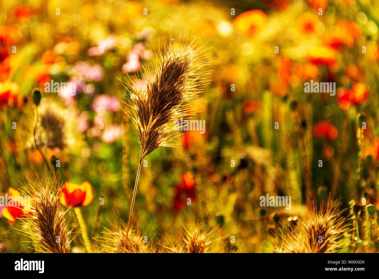 Golden spike in a defocused background of poppies and wild flowers.. Bokeh. Stock Photo
