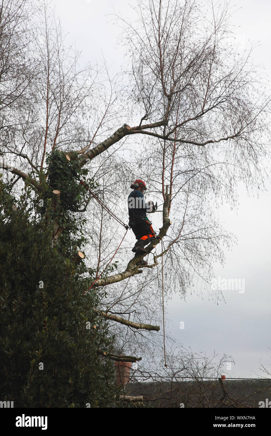 A tree surgeon at work with a chain saw reducing the size of a silver birch tree Stock Photo