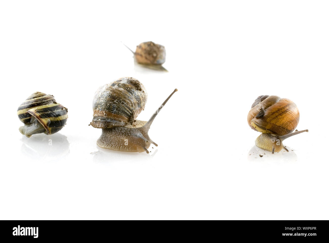 fore solitaire snails each going an other direction Stock Photo