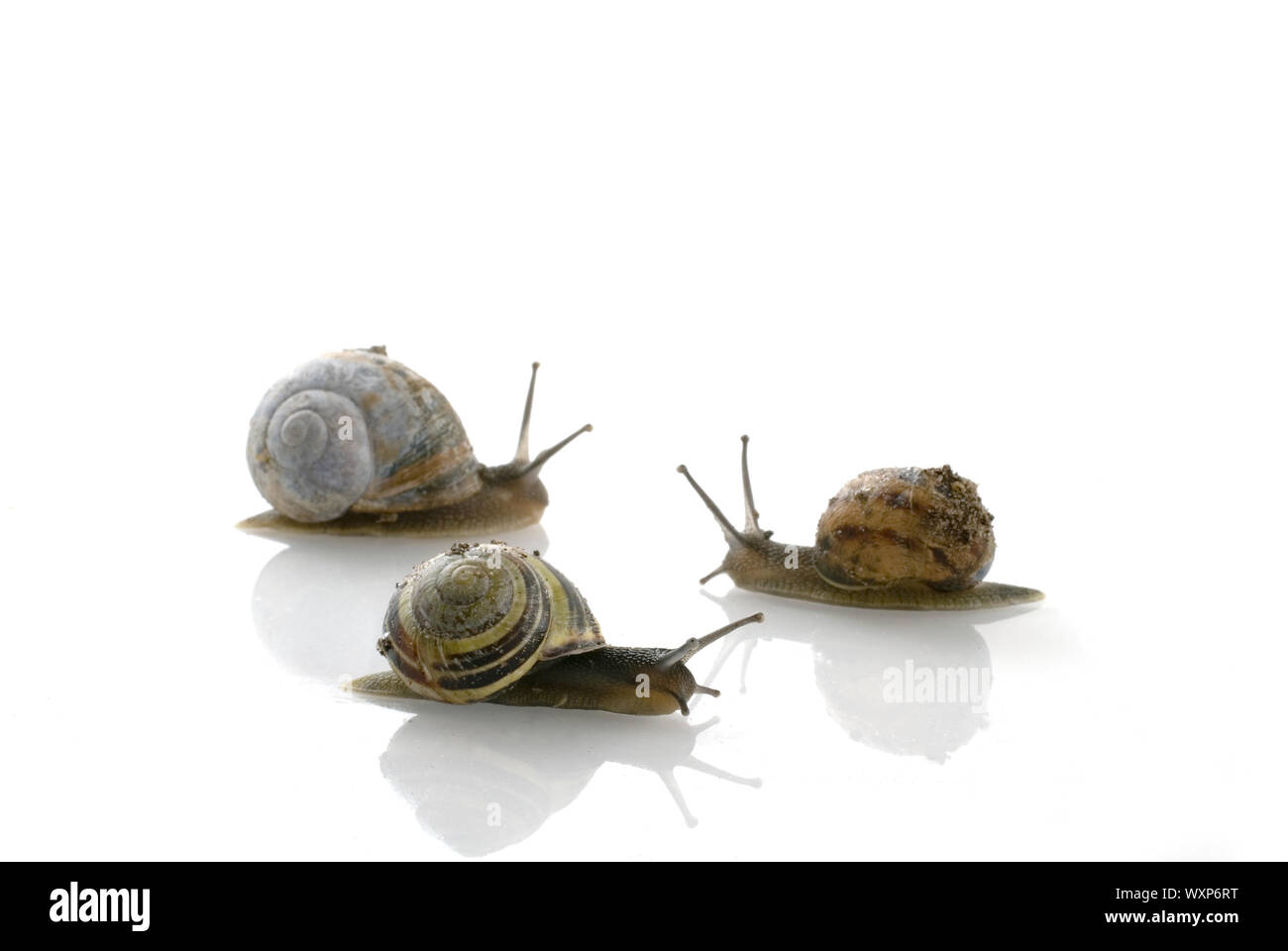 One snails choose for an other direction! Stock Photo