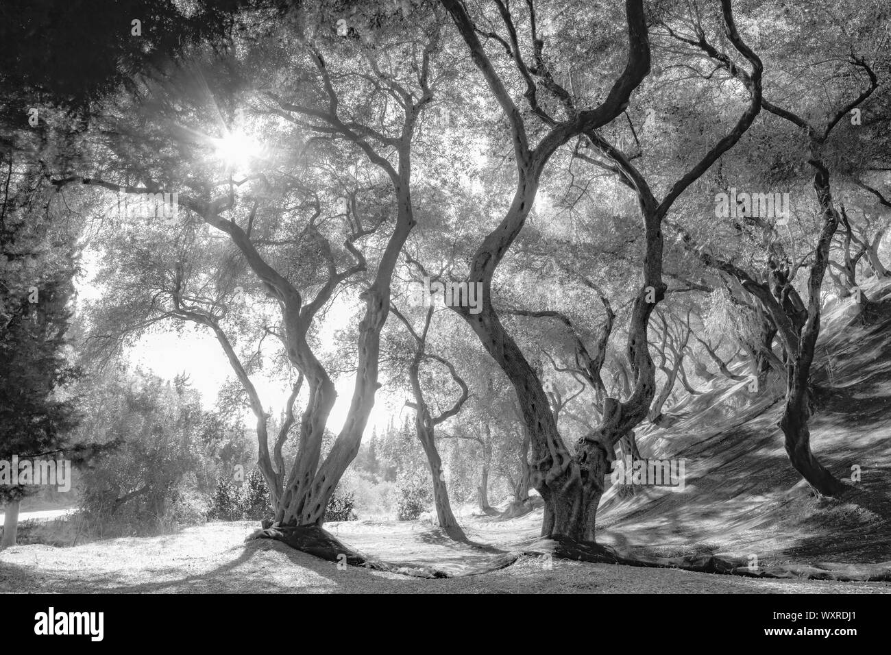 Olive grove, trees with twisted trunks, shadows and light play under the trees with dense wide-spreading crowns. Black and white photo. Stock Photo