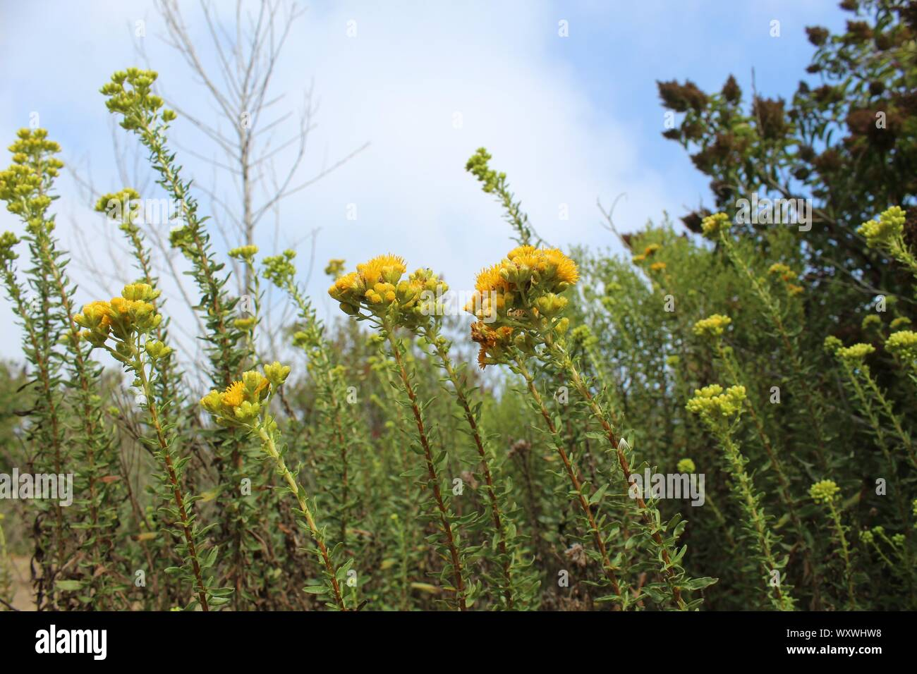 Native to the area of Ballona Freshwater Marsh, this flamboyant plant is known to taxonomy as Isocoma menziesii, and commonly as Menzies Goldenbush. Stock Photo