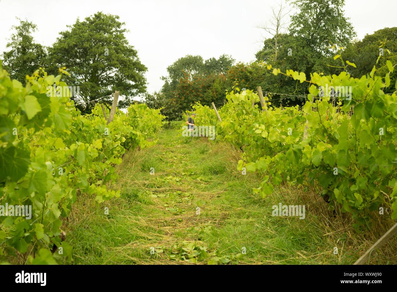 Grape Vines England Stock Photos Grape Vines England Stock
