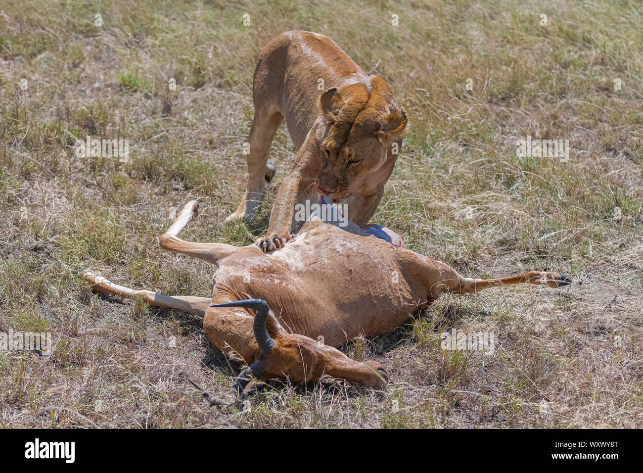 lioness who killed an antelope and is eating it in the savannah in Tanzania Stock Photo