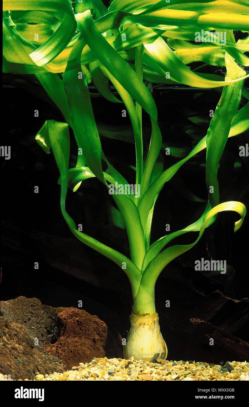 Crinum thaianum in aquarium Stock Photo