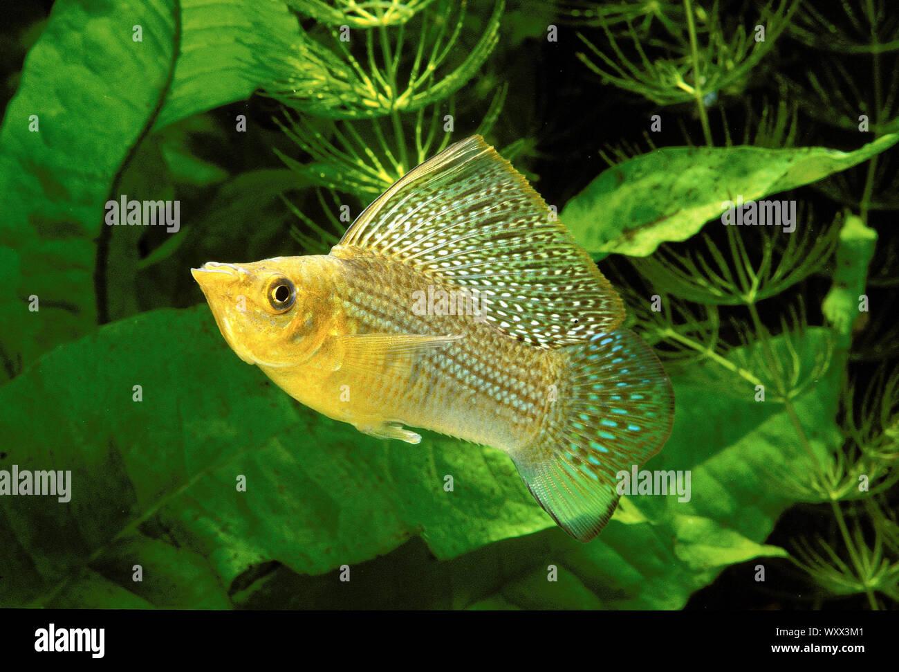 Yucatan molly (Poecilia velifera) male in aquarium Stock Photo