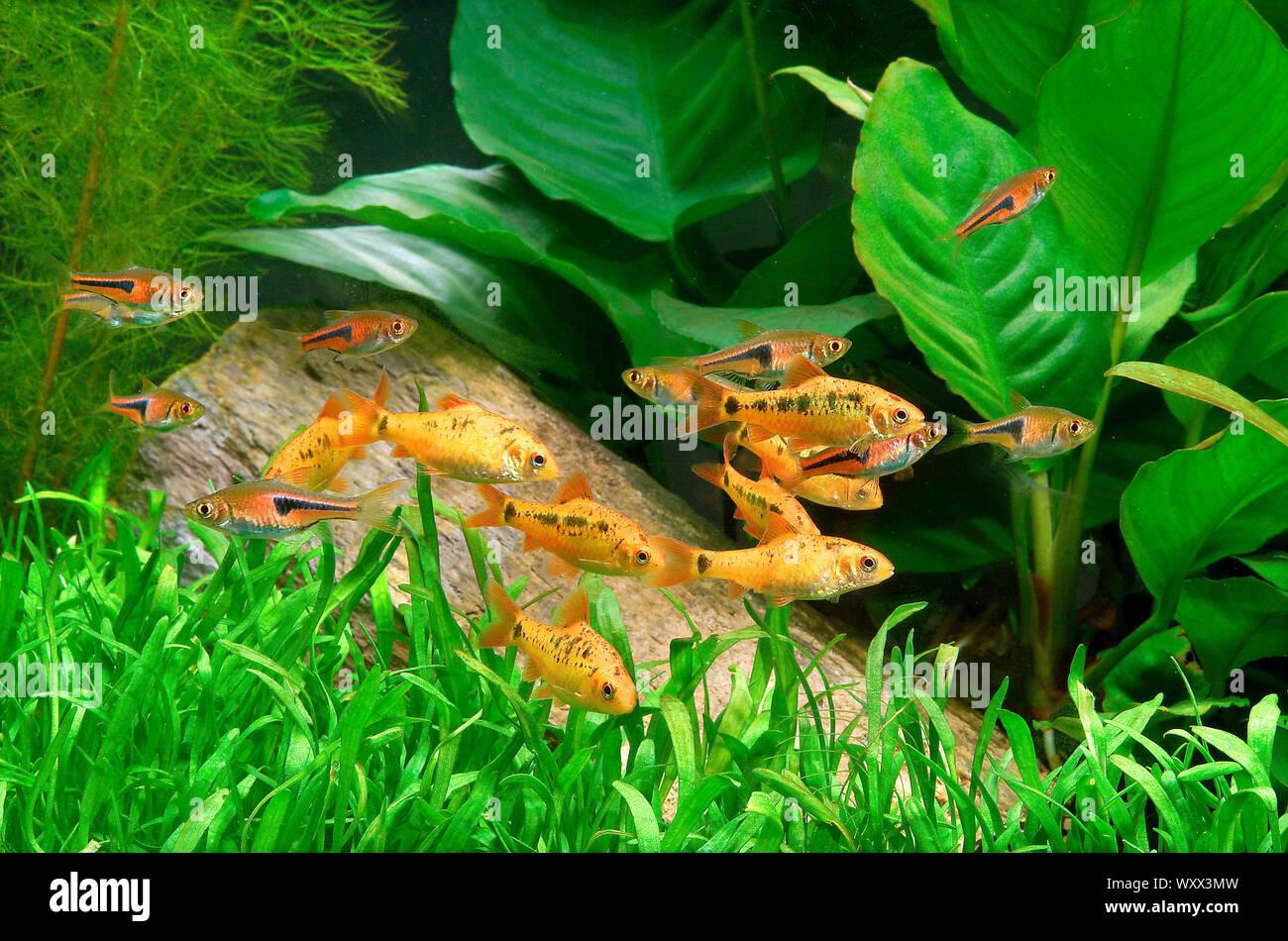 Gold barbs (Barbodes semifasciolatus) and Lambchop rasboras (Trigonostigma espei) in aquarium Stock Photo