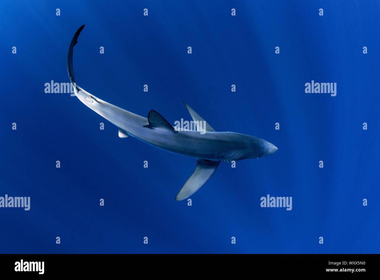 Blue shark (Prionace glauca). North Atlantic Ocean, Canary Islands. Stock Photo
