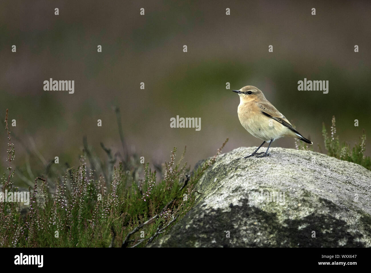 A female Northern Wheatear (Oenanthe oenanthe) perches on a rock in the Peak District National Park, UK. Stock Photo