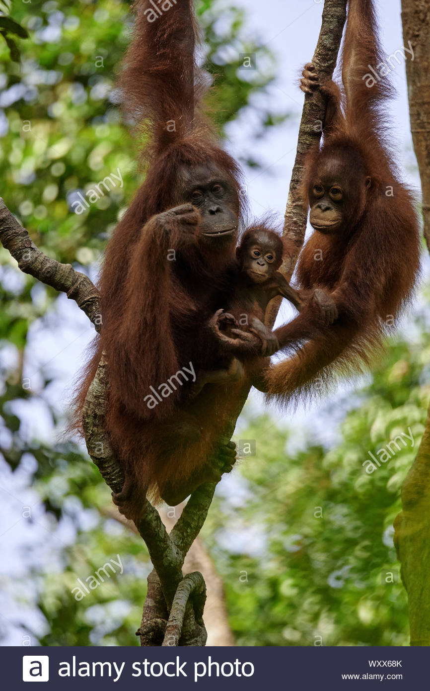 Borneo Orangutan (Pongo pygmaeus pygmaeus) Female with a young and an older young, in a tree, Tanjung Puting National Park, Indonesia Stock Photo