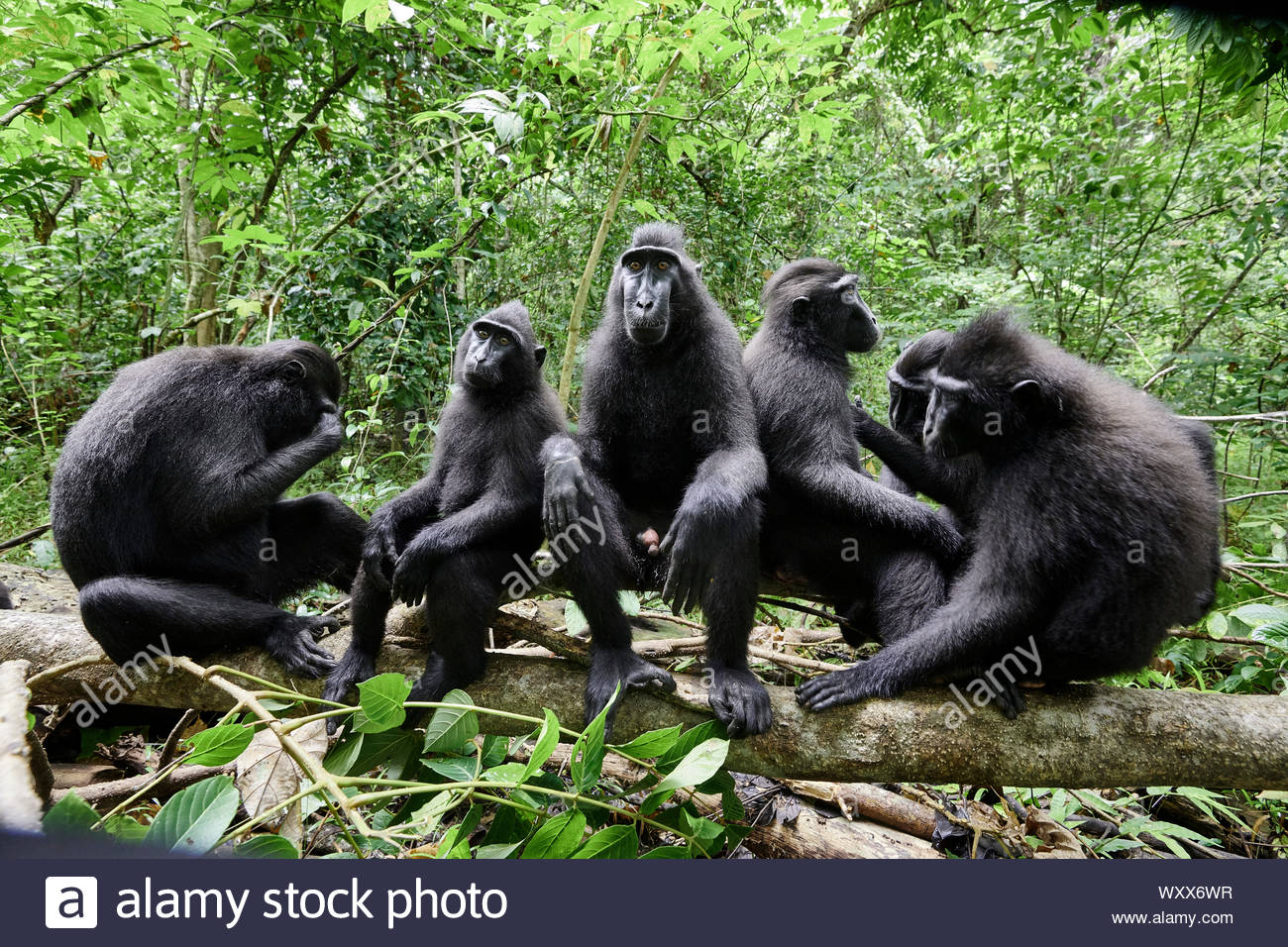 Celebes crested macaque (Macaca nigra), groupe of macaques nearby,Tangkoko National Park, Sulawesi, Indonesia Stock Photo