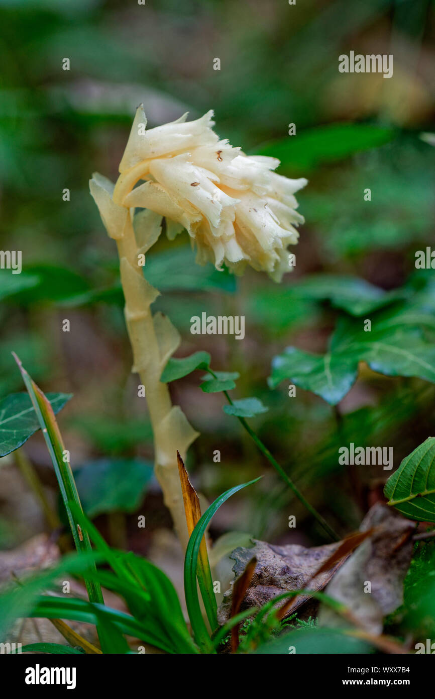 Yellow Bird's-nest (Monotropa hypopitys) in full bloom in a wood, Entre-deux-Mers, Gironde, New Aquitaine, France. Stock Photo