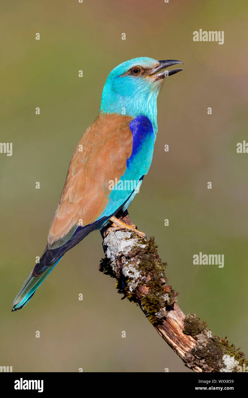 European Roller (Coracias garrulus), side view of an adult perched on a branch, Basilicata, Italy Stock Photo