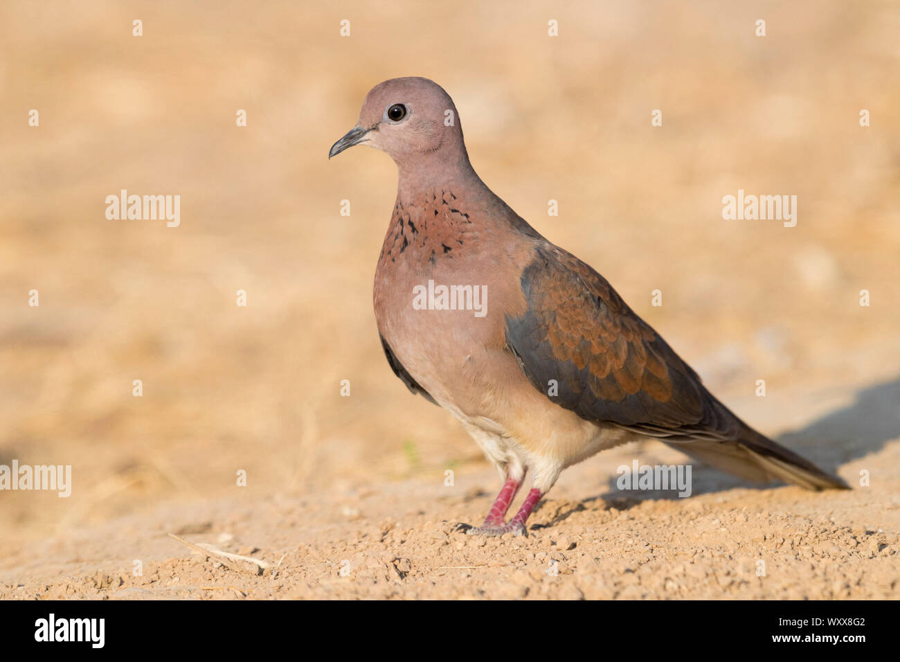 Laughing Dove (Streptopelia senegalensis), adult standing on the ground, Dhofar, Oman Stock Photo