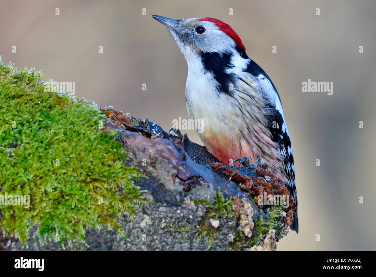 Middle Spotted Woodpecker (Dendrocopos medius) foraging on an old stump, France Stock Photo