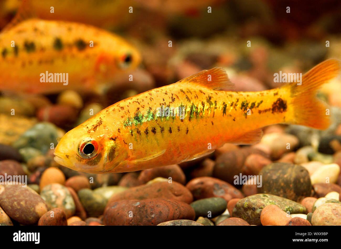 Gold barbs (Barbodes semifasciolatus = Puntius schuberti) Stock Photo