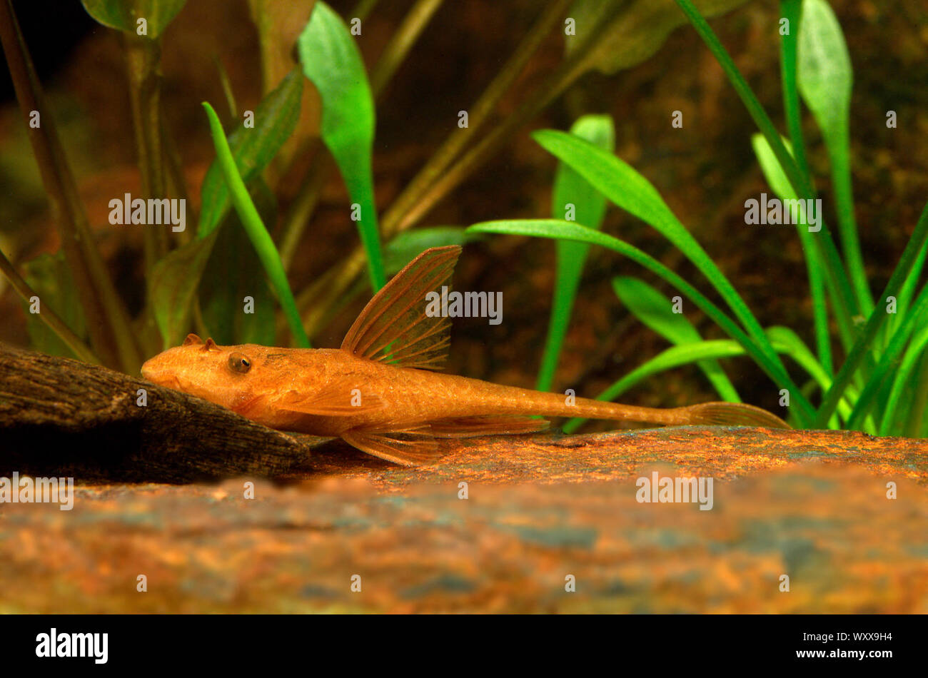 Red lizard catfish - Rineloricaria sp. Red L010a Stock Photo