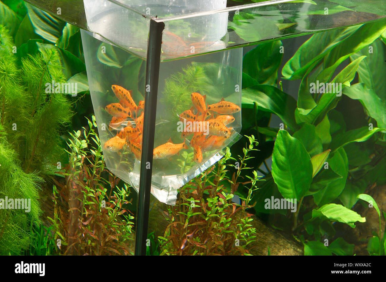 Gold barbs (Barbodes semifasciolatus) waiting to be released in aquarium Stock Photo