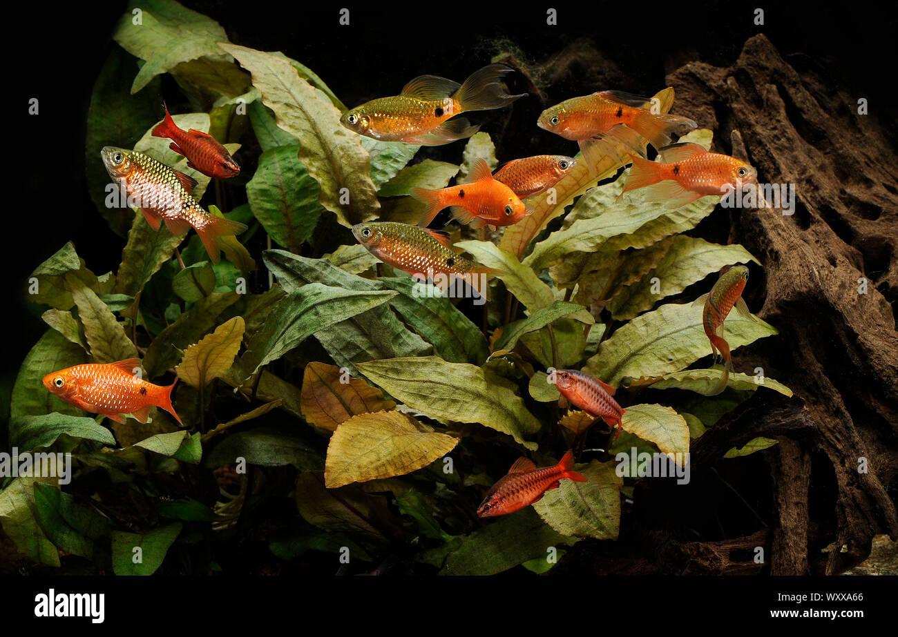 Rosy barbs (Pethia conchonius) and Cherry barbs (Puntius titteya) in aquarium Stock Photo