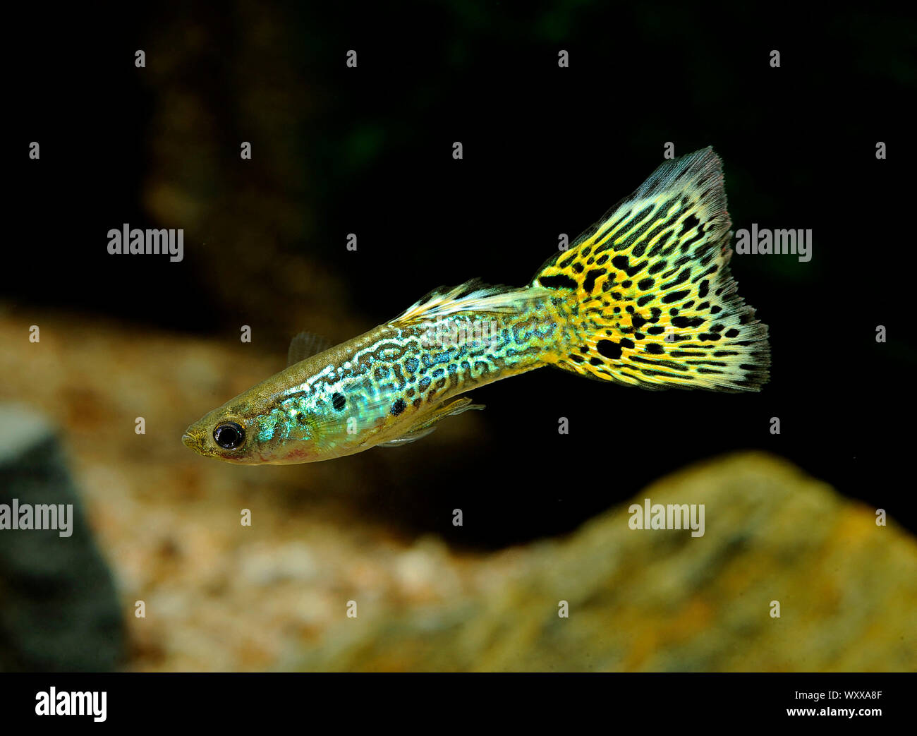 Guppy Fish Yellow High Resolution Stock Photography And Images Alamy