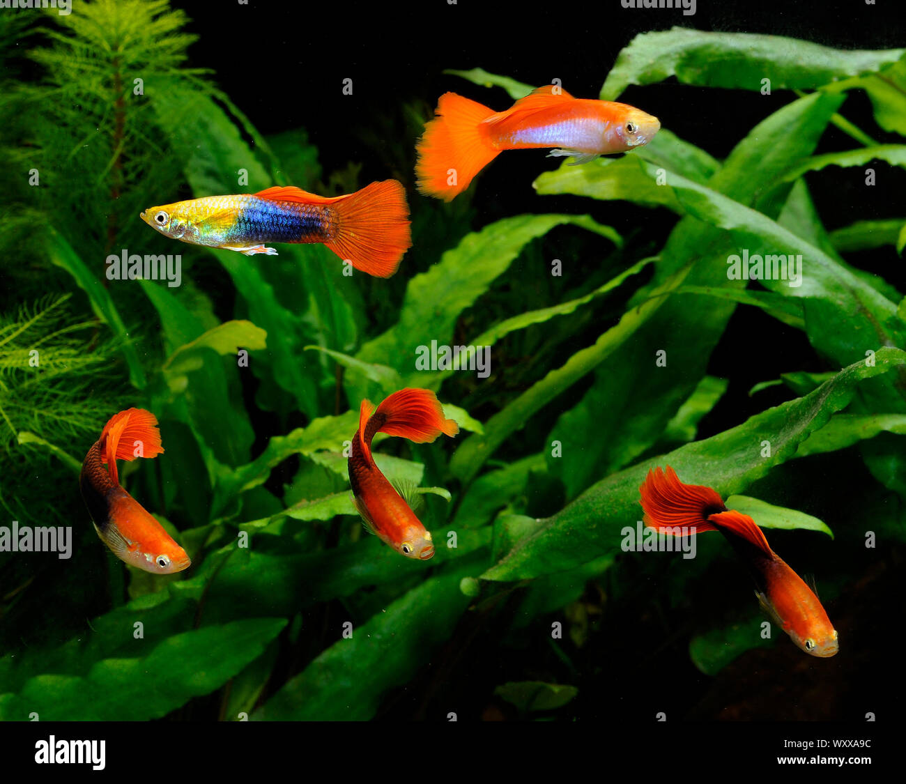 Guppies Stock Photo