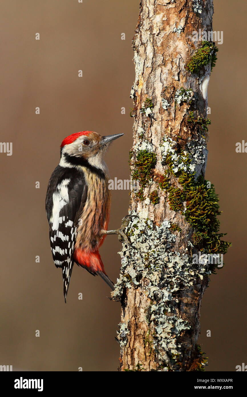 Middle Spotted Woodpecker (Dendrocopos medius) on a tree trunk, France Stock Photo
