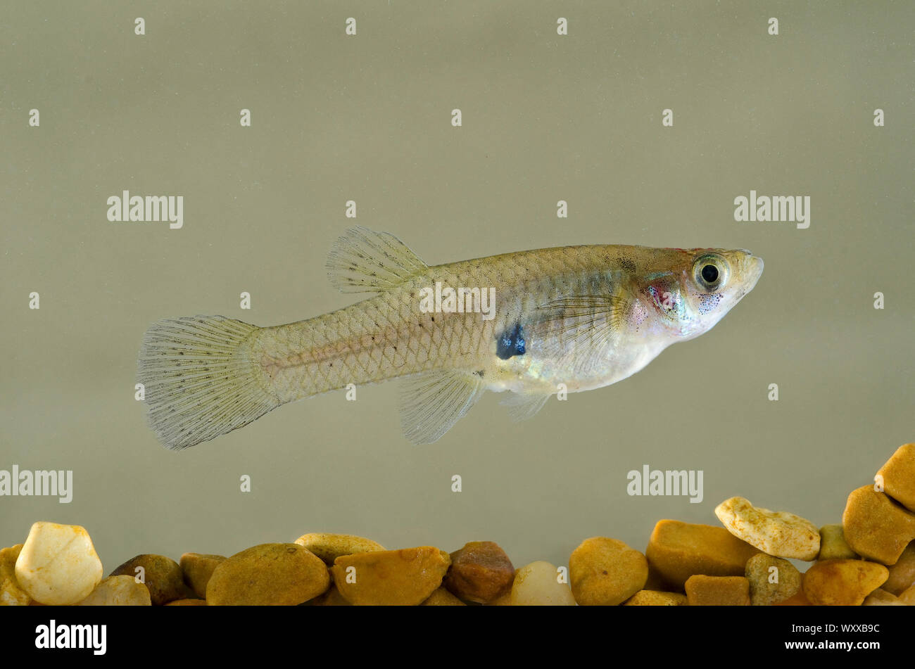 Western Mosquito Fish (Gambusia affinis) are used as a biocontrol agent to reduce mosquito populations. In some instances the fish are responsible for Stock Photo
