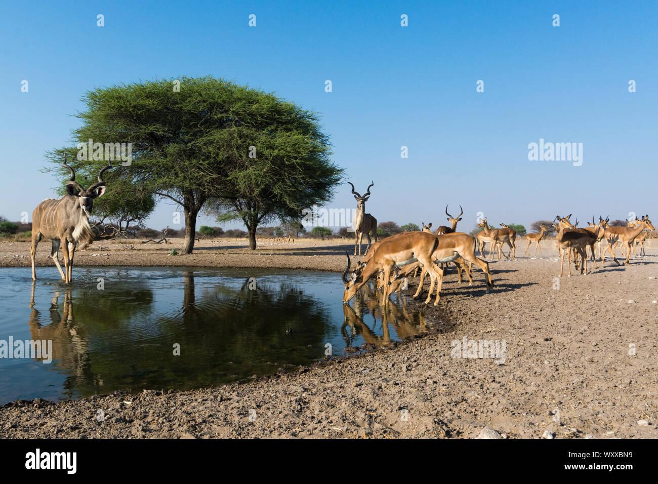 Remote camera image of greater kudus (Tragelaphus strepsiceros) and Impalas (Aepyceros melampus) at waterhole, Kalahari, Botswana Stock Photo