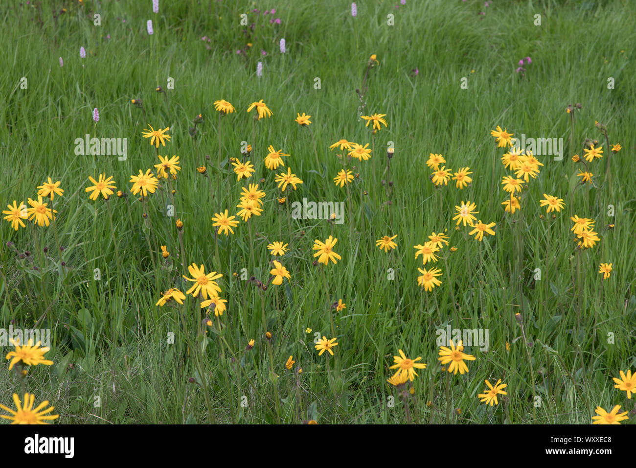 Echte Arnika, Arnica montana, mountain arnica Stock Photo