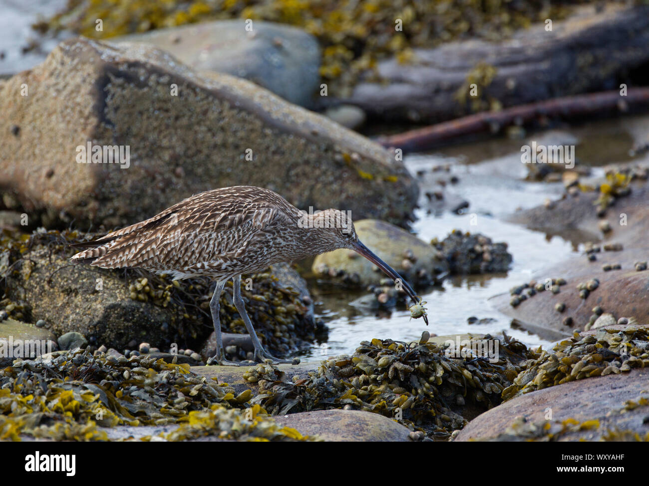 Eurasian Curlew, Numenius arquata, feeding on shellfish in rockpool, Seahouses, Northumberland, UK. Stock Photo