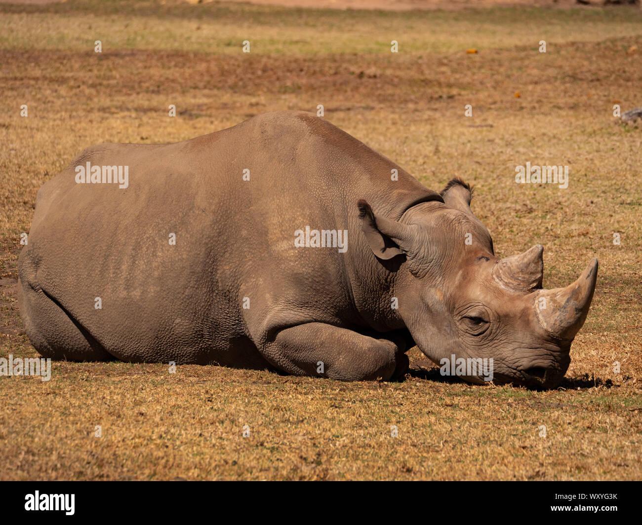 A critically endangered Black Rhinoceros, Diceros bicornis, in a captive breeding program resting in its enclosure. Stock Photo